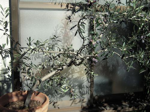 2012-11-10 014-1 ペンドリノ.jpg
