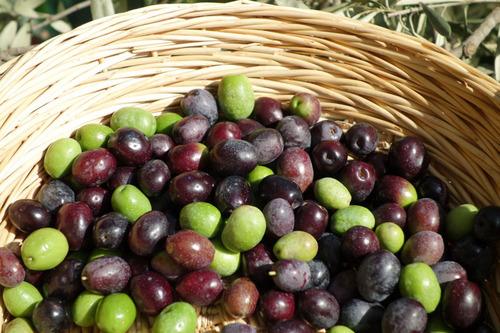 20130929 収穫1 S 022-1 マンザニロ.jpg